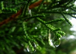 Raindrops hanging from a thuja tree branch