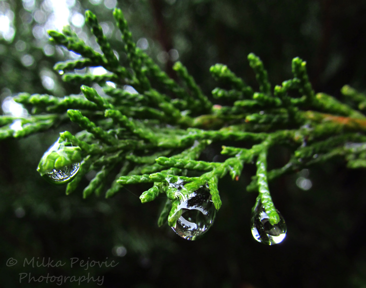 WordPress weekly photo challenge: Focus - raindrop on tree branch