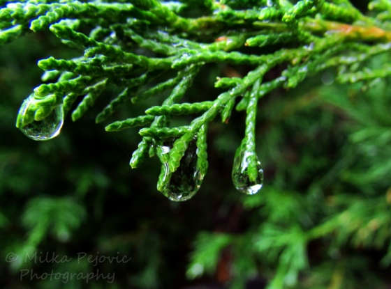 Let's Wild Weekly Photo Challenge: Green branches and raindrops