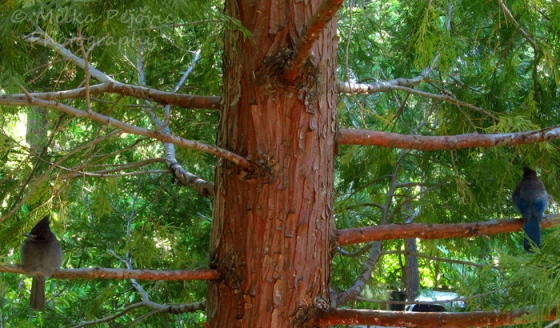 Stellar jay birds on a pine tree