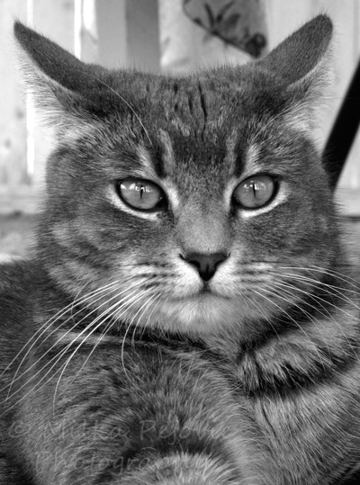 Cee's Fun Foto Challenge: Black and white, beautiful cat