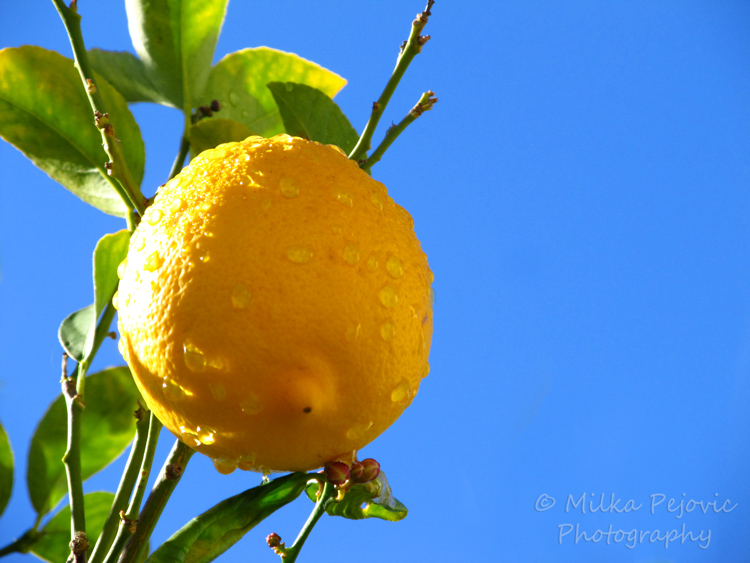 Cee's Fun Foto Challenge: the curves of a lemon