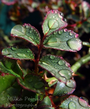 Travel theme: delicate rain drops on rose tree leaves