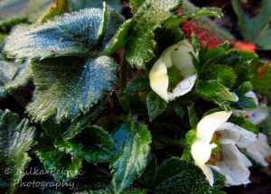 WordPress weekly photo challenge: Forward to strawberries