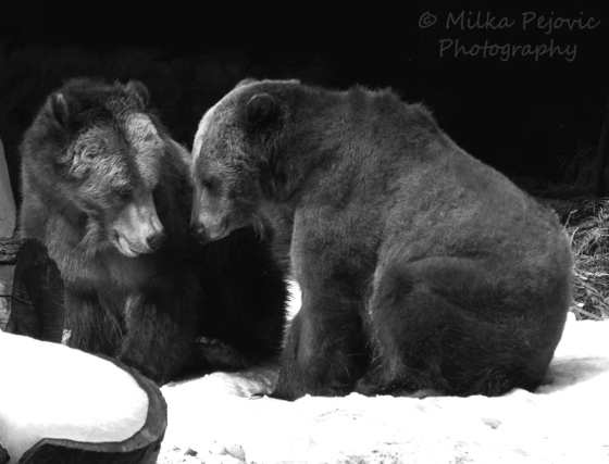 Cee's Fun Foto Challenge: Black and white grizzly bears at the San Diego Zoo