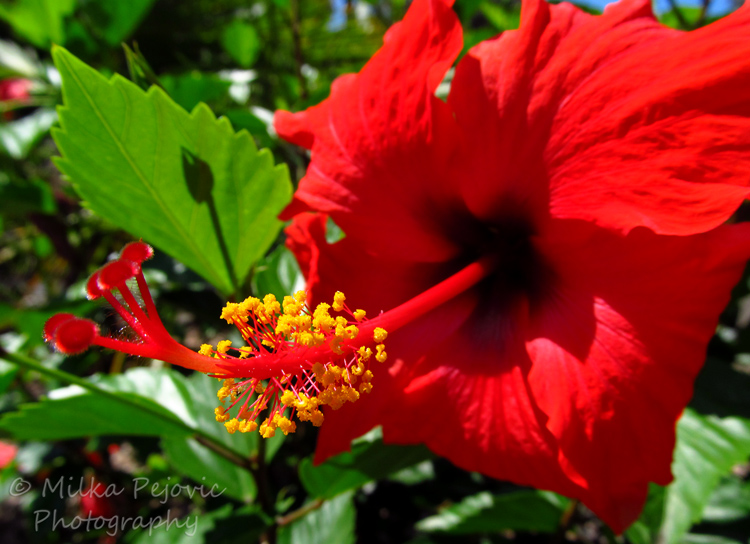 Travel theme: Contrast - Red hibiscus flower