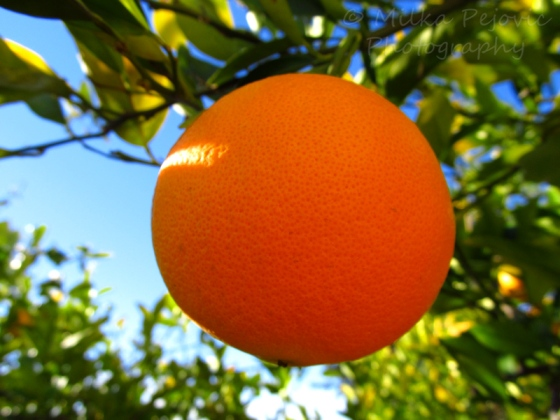 A Word A Week Challenge – Orange on the orange tree
