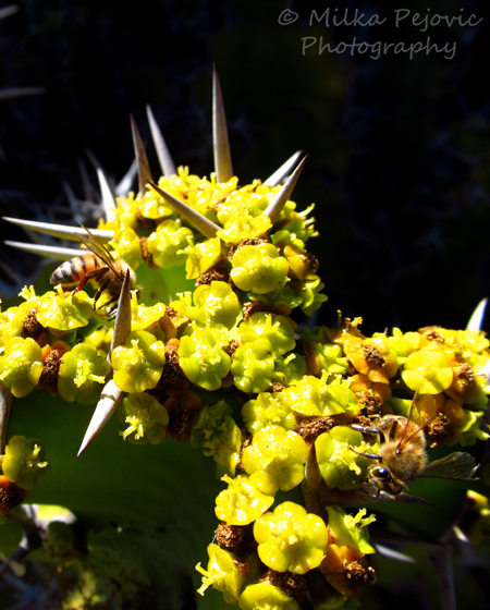 Two bees on yellow cactus flowers