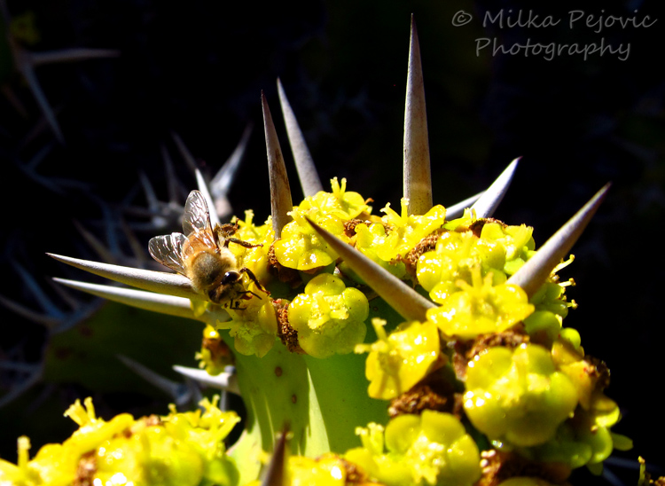 Bee on cactus flowers