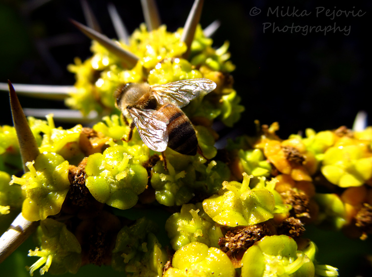 Bee collecting nectar on yellow cactus flowers