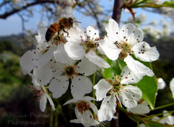 Sunday Post: Ongoing - bees on the pear blossoms at San Diego Balboa Park