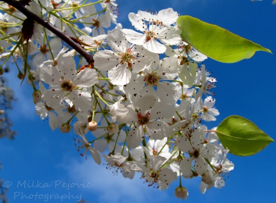Wordpress weekly photo challenge: Home - pear blossoms at San Diego's Balboa Park
