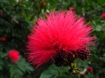 Macro Monday: pink powder puff tree - Calliandra Haematocephala
