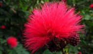 Macro Monday: The pink and fuzzy flowers of the New Zealand ChristmasTree