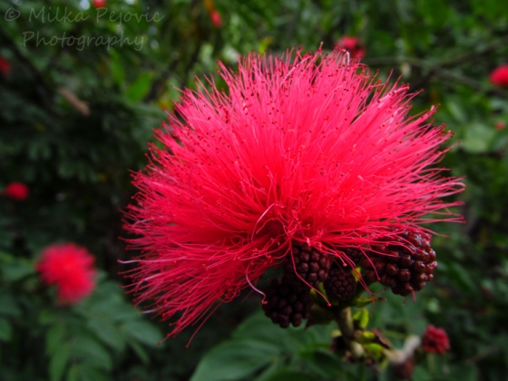 Macro Monday: pink fuzzy flowers and dark red berries of the Calliandra Haematocephala