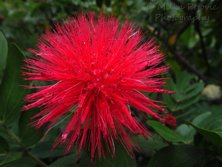 Macro Monday: pink powder puff flowers - Calliandra Haematocephala