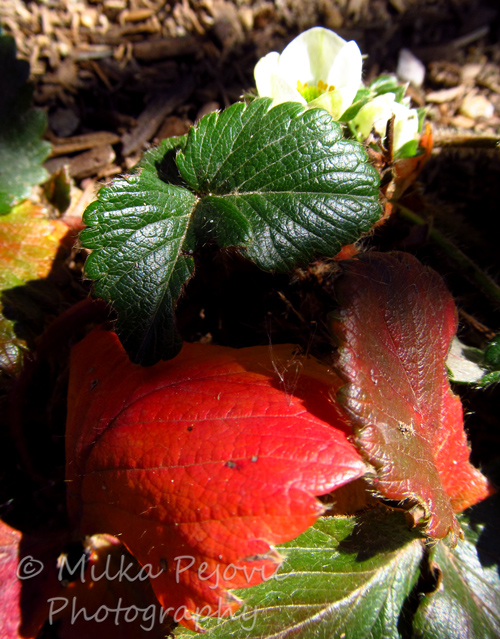 Red strawberry leaves and white strawberry blossoms