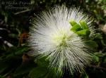 Macro Monday: white powder puff tree - Calliandra Haematocephala
