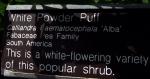 Powder puff tree - calliandra haematocephala