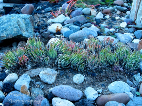 Cee's Fun Foto Challenge: Earth - succulents growing in dirt and rocks