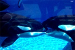 Wordpress weekly photo challenge: Kiss - killer whales French kissing