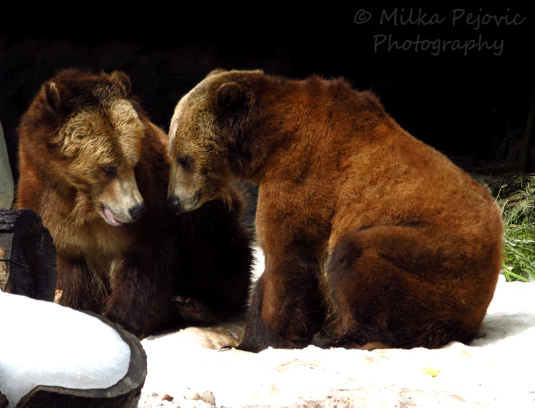 Brown bears - brother bears
