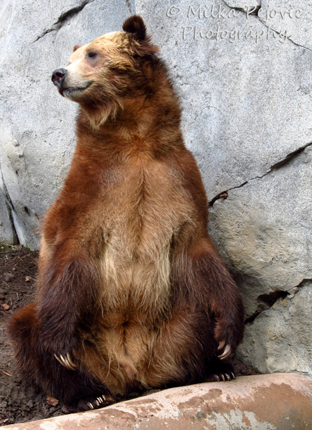 A Word A Week Challenge: Pose - grizzly bear at the San Diego Zoo