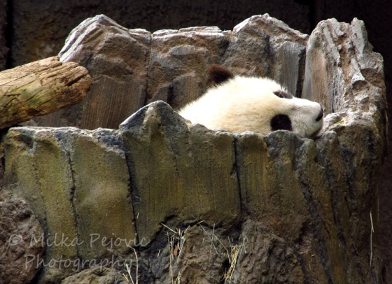 A Word A Week Challenge – Zoom - Baby panda bear t the San Diego Zoo