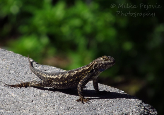 A Word A Week Challenge – Zoom - Lizard basking in the sun
