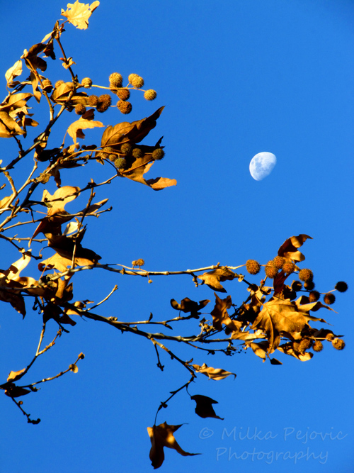 Wordpress weekly photo challenge: the golden hour - the sun lights up fall leaves with the moon in the background