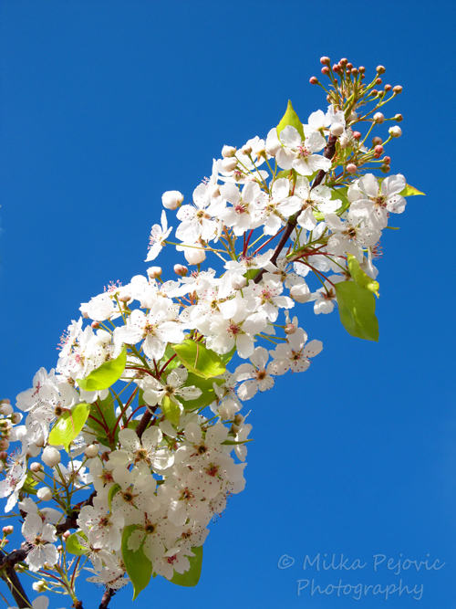 Ornamental pear blossoms