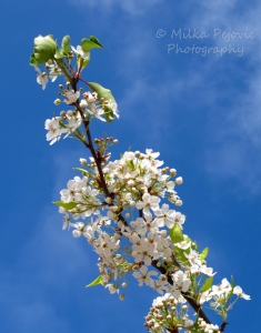 Pear blossoms of Balboa Park in San Diego