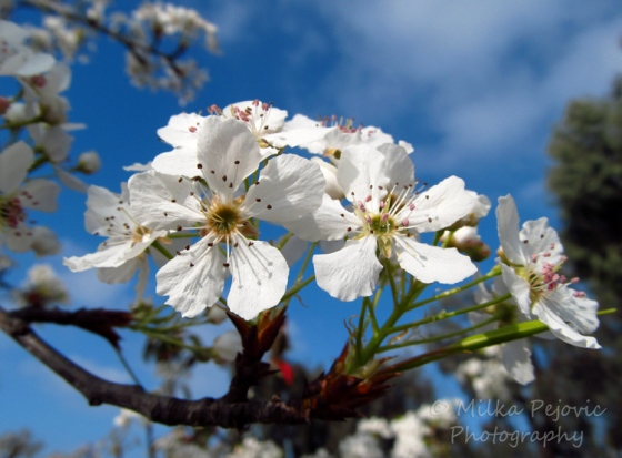 Close-up of the pear blossoms in Balboa Park