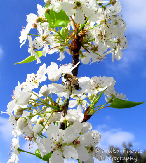 Bee on the blossoms of a pear tree