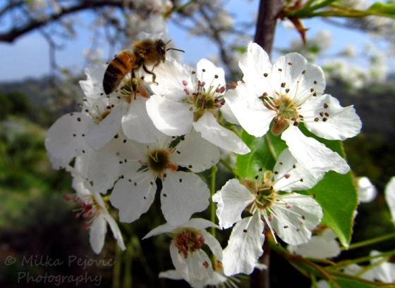 Bee on the pear blossoms at San Diego Balboa Park