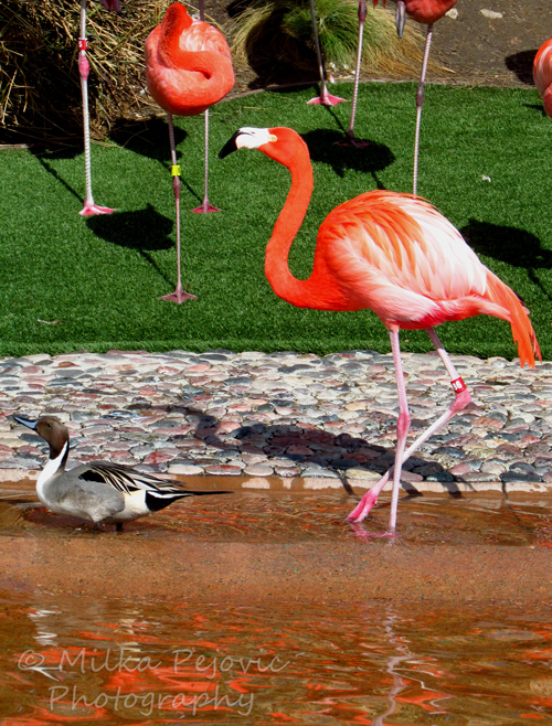 Let's Be Wild Weekly Photo Challenge - Birds of a feather - Flamingo and duck