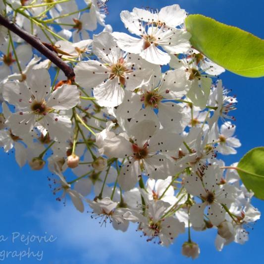 Beautiful pear blossoms of San Diego's Balboa Park