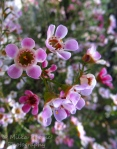 Close-up of pink manuka flowers