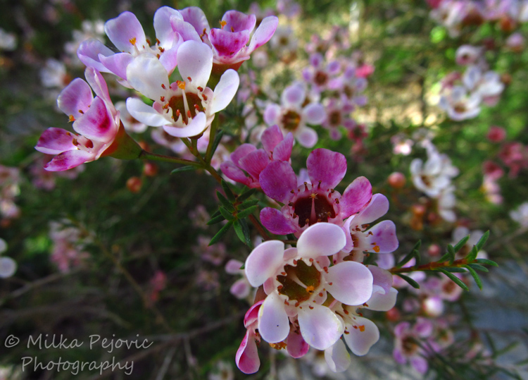 Macro Monday: Small pink flowers