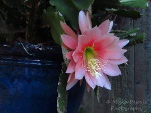 Macro Monday: Flower of a succulent plant