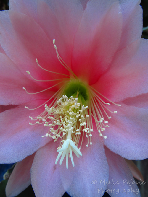 Macro Monday: Succulent with pink flower blooms