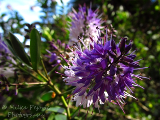 Purple and white flowers on a shrub
