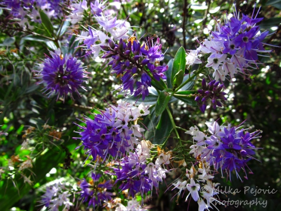 Macro Monday: Tree with purple blooms
