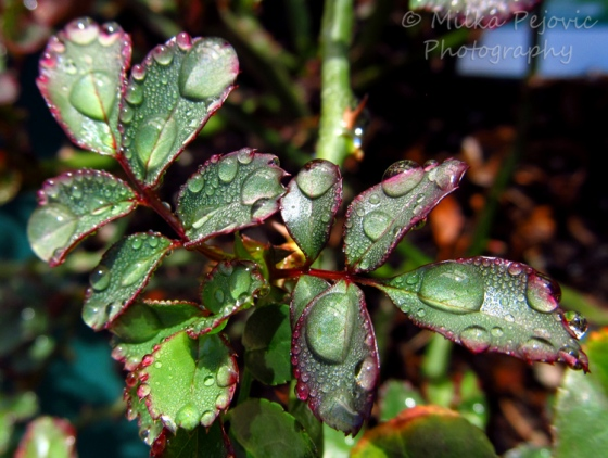 WordPress weekly photo challenge: From above - Raindrops on the leaves of a rose tree