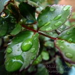 Macro Monday: Raindrops on green leaves
