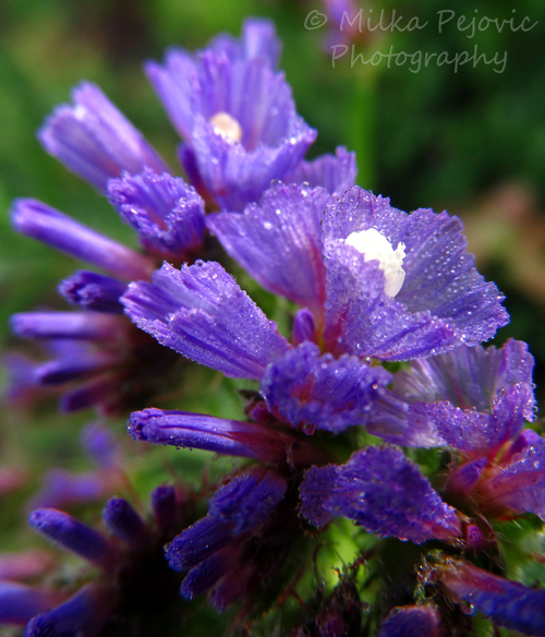 Tiny purple and white wildflowers with morning dew