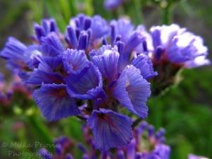 Morning dew on purple flowers