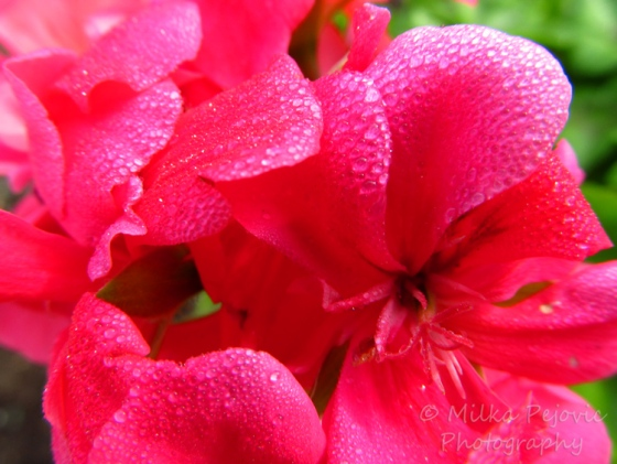 Morning dew on pink geraniums