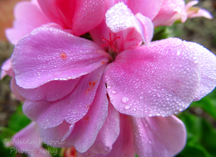 Morning dew on light pink geraniums