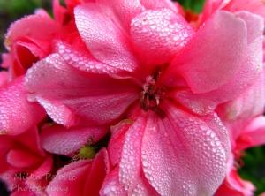 Morning dew on flower petals